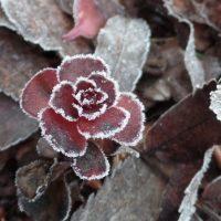 Jäätynyt kukka