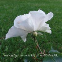 Runotaulu Ruusu